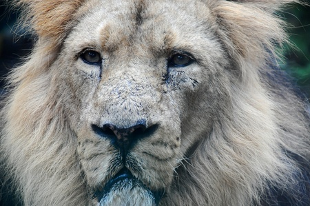 Close up of the head and face of a male Asiatic Lion
