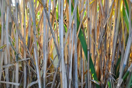 Close up of Bamboo grass reeds  Stock Photo