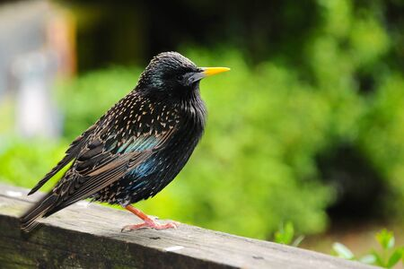 A starling perched on a garden fence