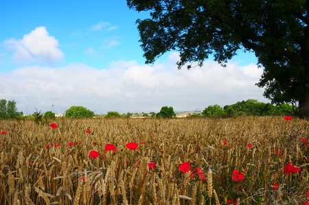 Poppys in cornfield photo