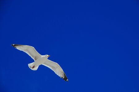 soaring Herring seagull Stock Photo