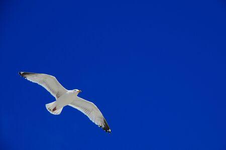 soaring Herring seagull Stock Photo