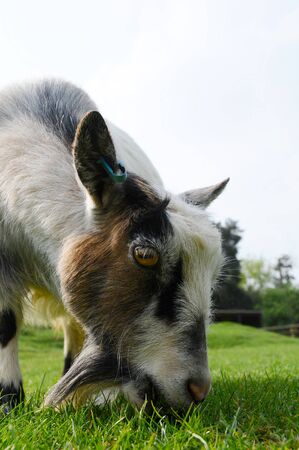 A young Pygmy goat grazing in a field