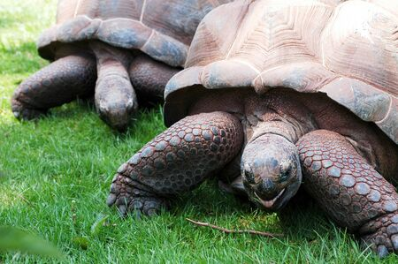 two large Giant tortoises feeding on grass