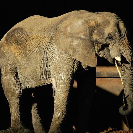A large male African bush elephant (Loxodonta africana)
