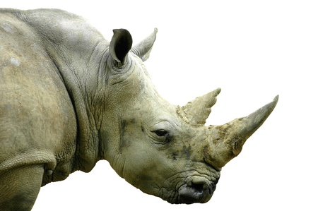 side view of the head of a llarge white rhino