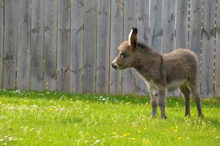 2 week old donkey foal in lush field Stock Photo