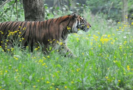 stalking: stalking sumatran tiger