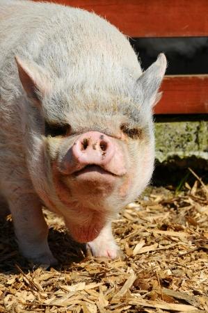 head of a Vietnamese Pot-bellied Pig