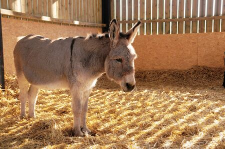 a lone donkey stood in a stable   barn Stock Photo