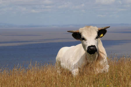 Horned white cow laying down in a coastal field Stock Photo
