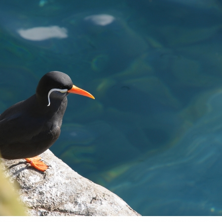 Inca tern perched on a rock over the sea