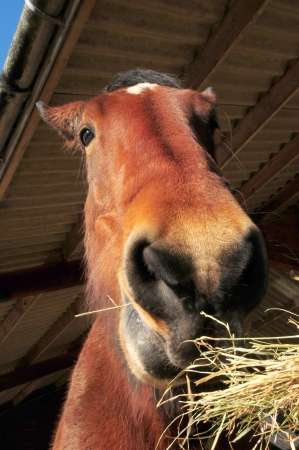 Close up of a heavy horse eating hay