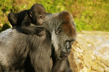 A Mother Western Lowland Gorilla carrying her baby on her back.