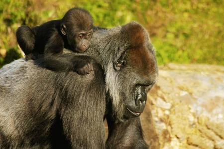 western lowland gorilla: Una Madre Gorilla di pianura occidentale portando il suo bambino sulla schiena.