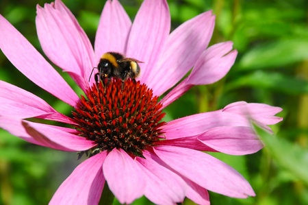 A bumble Bee busy collecting pollen from a big purple and red flower