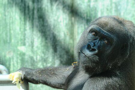 western lowland gorilla: Una femmina di gorilla di pianura occidentale