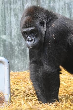 A western lowland Gorilla in straw