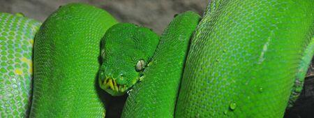 A green tree python  Morelia viridis  coiled on a branch in a vivarium