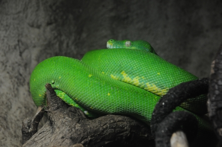 A green tree python  Morelia viridis  coiled on a branch in a vivarium