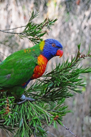 A Rainbow Lorikeet  Trichoglossus haematodus  perched in a tree