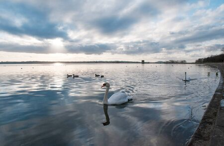 Swans and ducks swimming on a lake at evening.