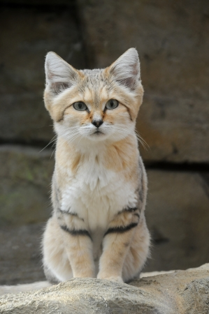 A Sand Cat (Felis margarita) looking alert sat on a rock Stock Photo