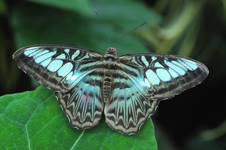 Blue butterfly with wings outstretched on a large leaf