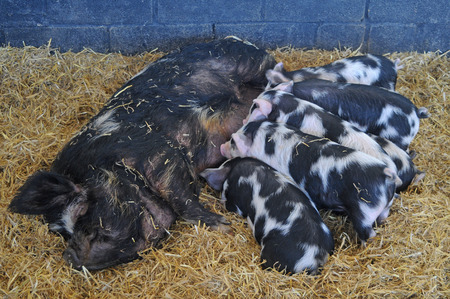 A female Kunekune pig with 6 little piglets feeding from her in a sty