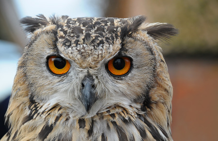 Close up of the head of a large Eagle Owl Stock Photo
