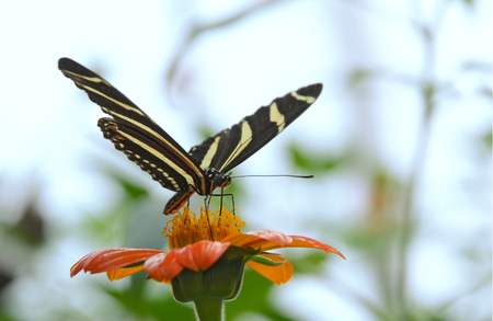 Butterfly feeding on an orange flower Stock Photo