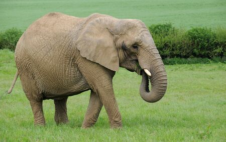 A lone female African Elephant grazing on lush green grass