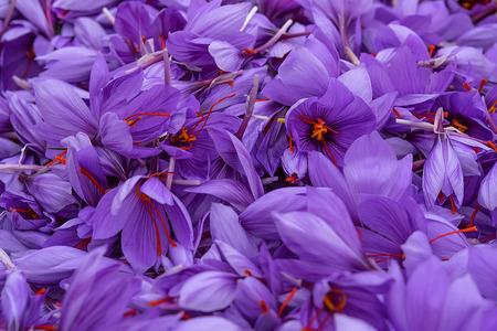 """Blumen der Safransammlung. Crocus sativus, allgemein bekannt als """"Safrankrokus""""-Ernte Standard-Bild"""