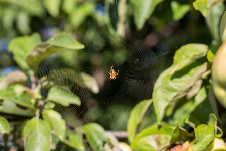 The spider sits on the web waiting for prey