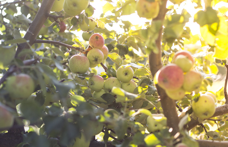 ripe apples on a tree in the sunlight