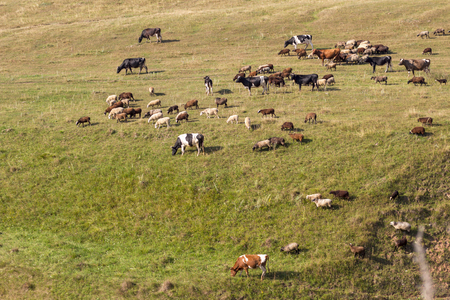 grazing herd of cows and sheep on green grass Russia