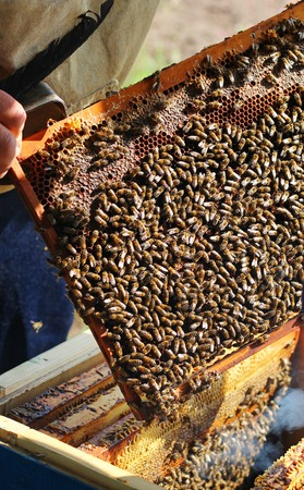 beekeeper examines a swarm of bees on the honeycomb