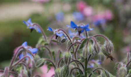 flowering Borage plant grass Borago officinalis in sunlight