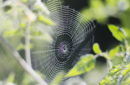 Natural spider web between two branches on the background of a garden with dew drops.