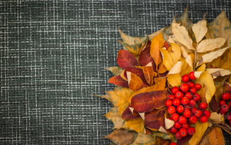 Autumn leaves and Rowan on grey background with copy space