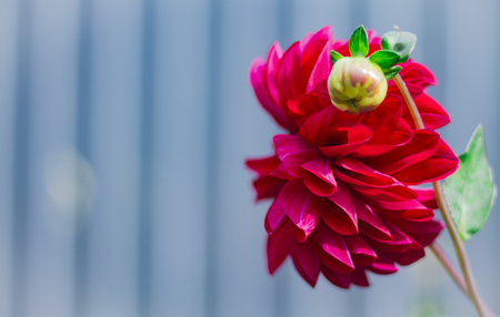a large red Dahlia with a Bud grows in the garden 写真素材