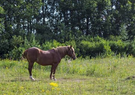 portrait of a horse grazing in a meadow