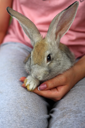 A tiny gray rabbit sits in the palms of a girl.