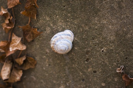 grape snail on a concrete background with dried ivy Stock Photo