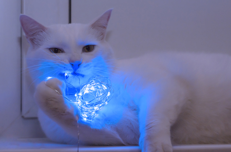 elegant white cat nibbles a glowing blue garland Stock Photo