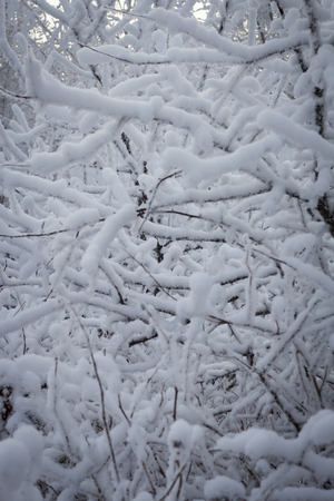 background of winter white snow-covered branches