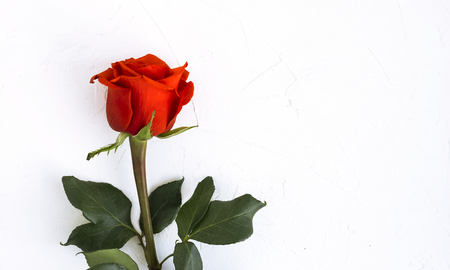 beautiful Red rose on white background with copy space. Zdjęcie Seryjne