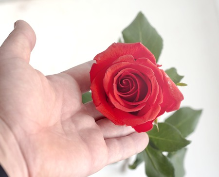 Hand with red rose , on white background in soft light.