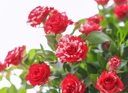 beautiful red roses in a bouquet on a white background.
