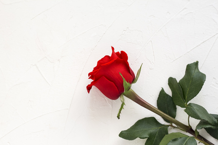 single scarlet rose on white background with copy space.